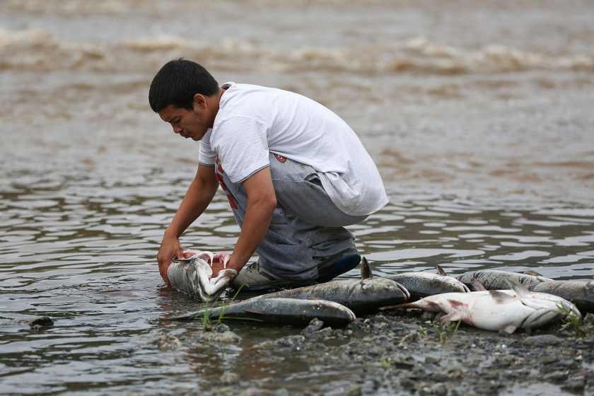 The Drought Is Making the Klamath River's Baby Salmon Sick